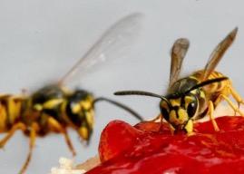 Wespen stören jetzt bei jeder Mahlzeit.